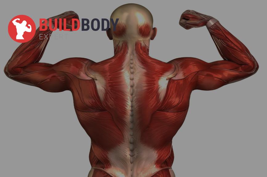 Красные медленные неутомляемые мышечные волокна
