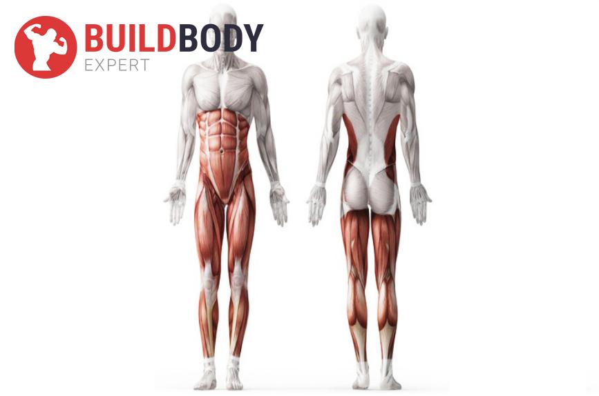 Какие работают мышцы при становой тяге