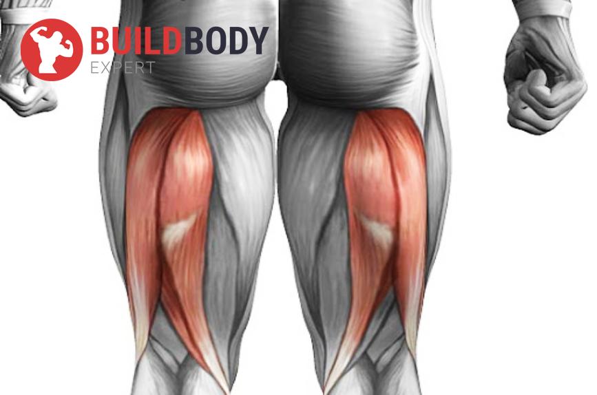 Бицепс бедра является двусуставной мышцей, в растянутом состоянии она слабее